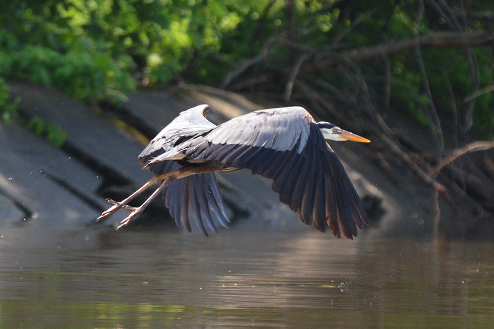 Great Blue Herons 05