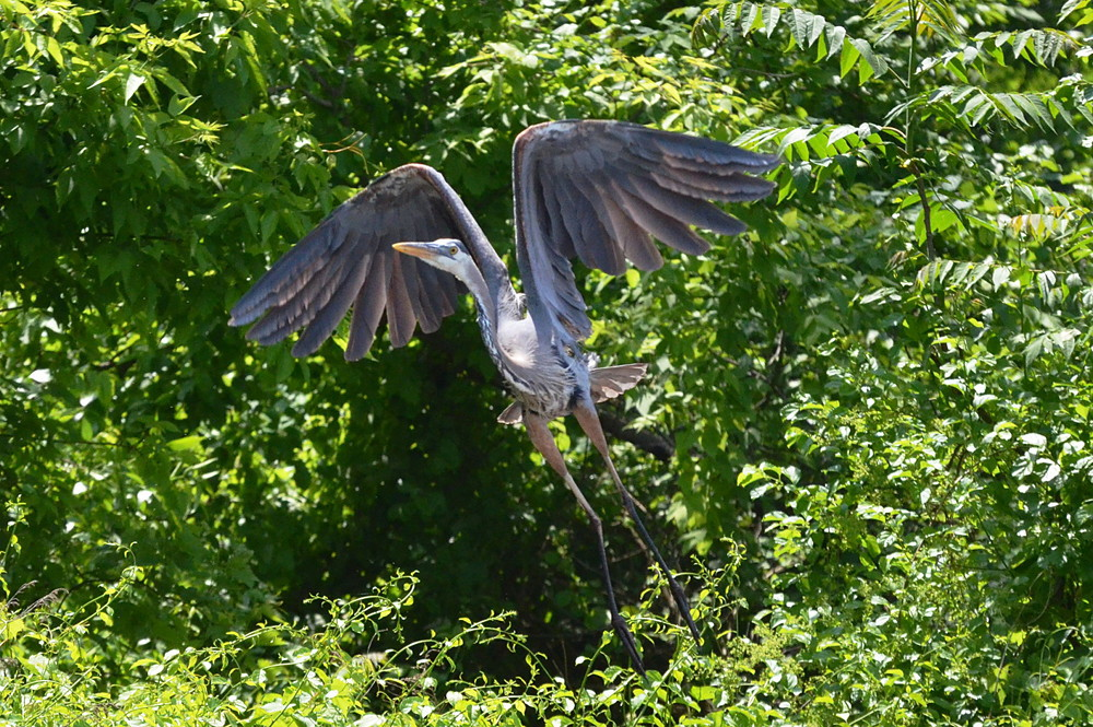 Great Blue Herons 07