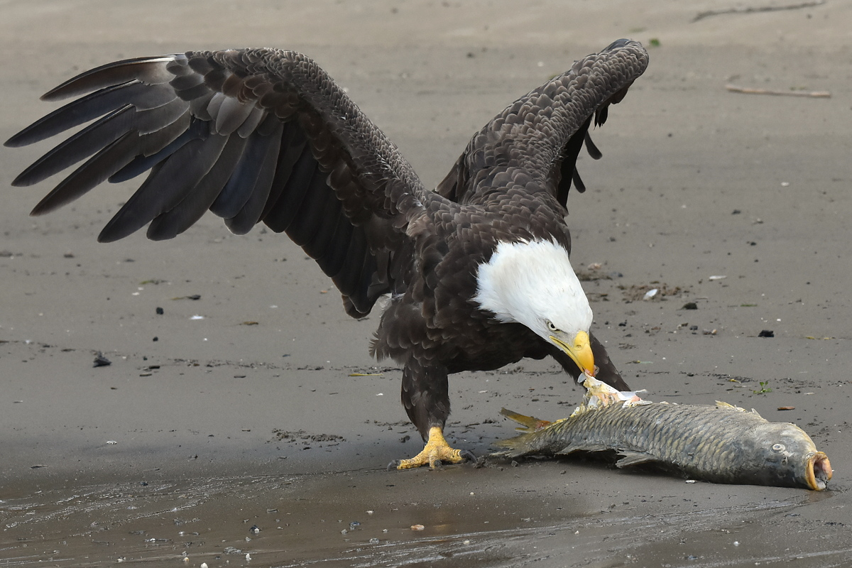 Eagles Devour a Carp 02