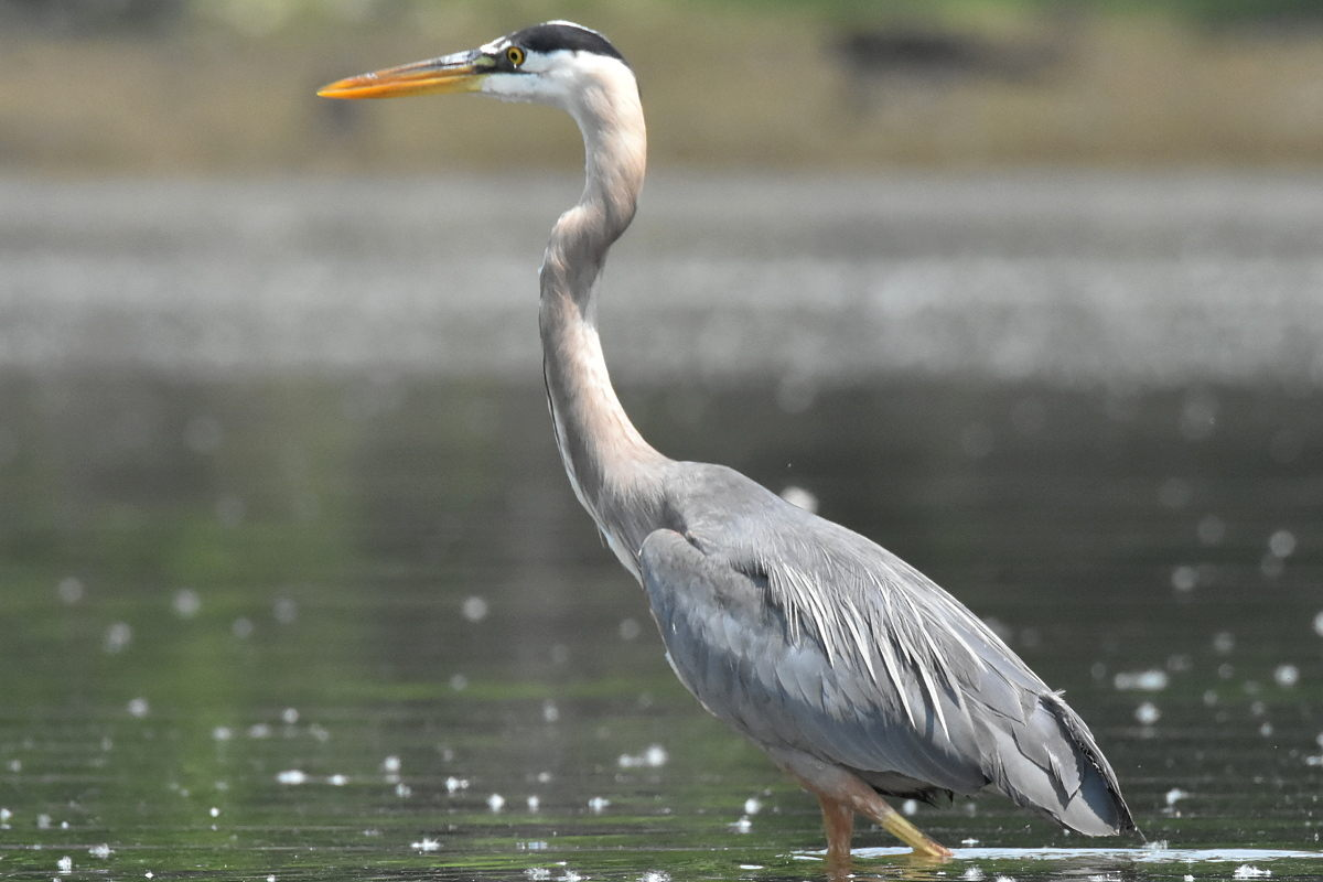 Great Blue Heron Eats Eels 11