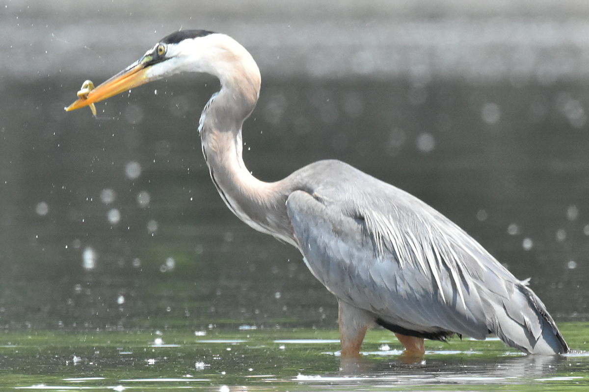 Great Blue Heron Eats Eels 16