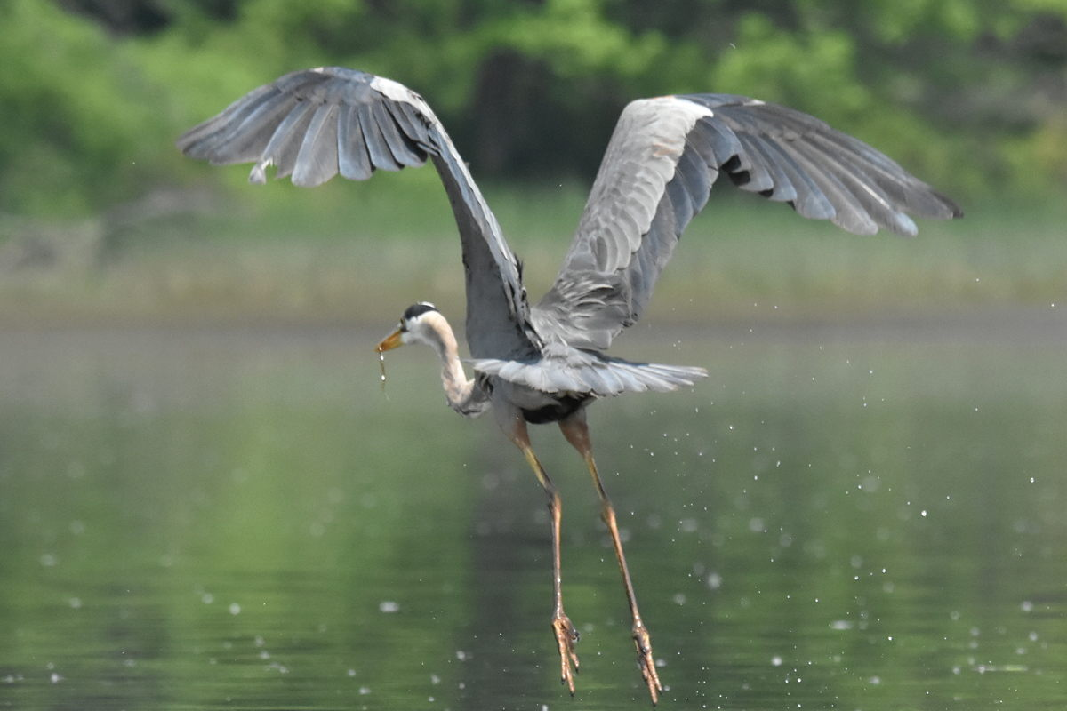 Great Blue Heron Eats Eels 29