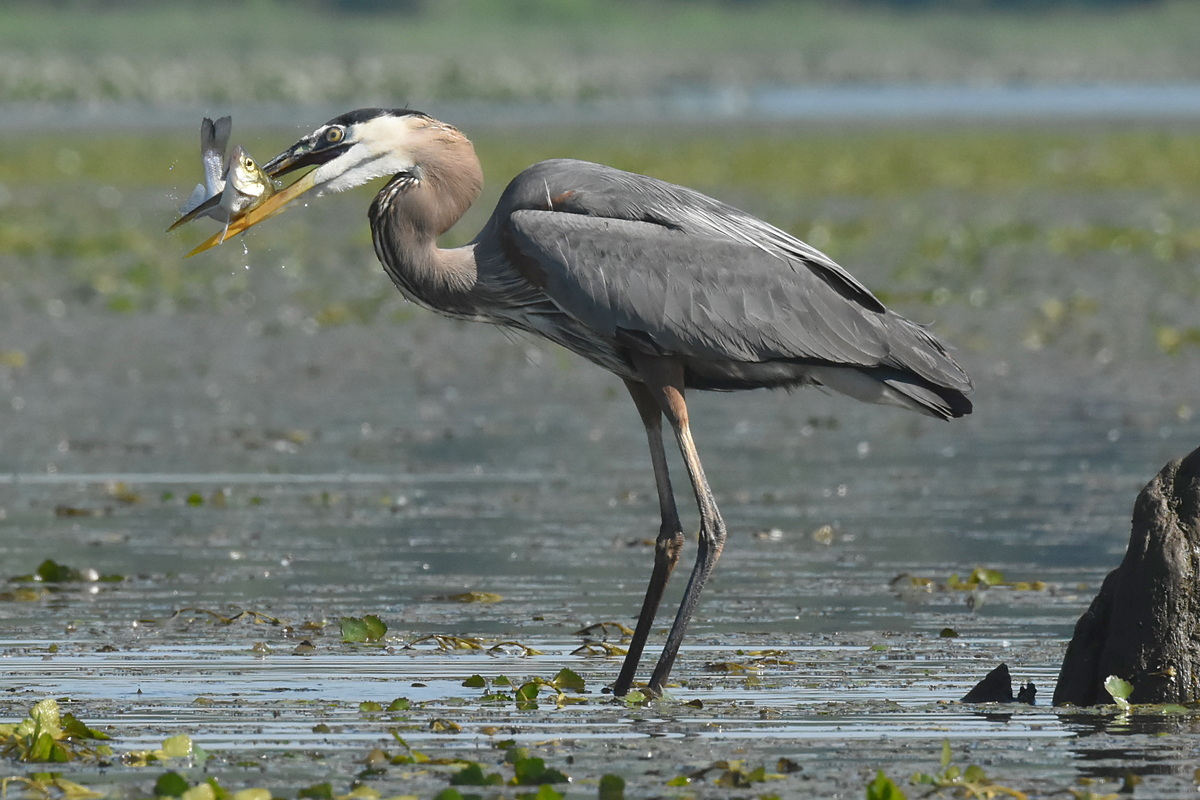 Great Blue Heron Eats a Fish 07