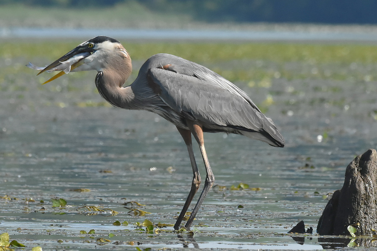 Great Blue Heron Eats a Fish 09