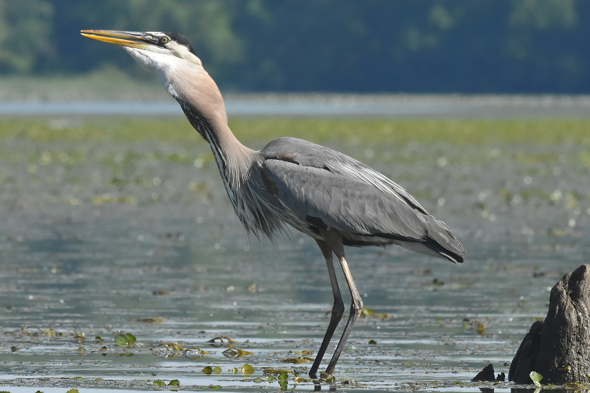 Great Blue Heron Eats a Fish 18
