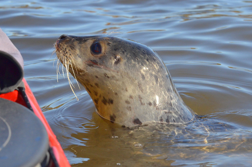 A Harbor Seal in the Upper Estuary 03