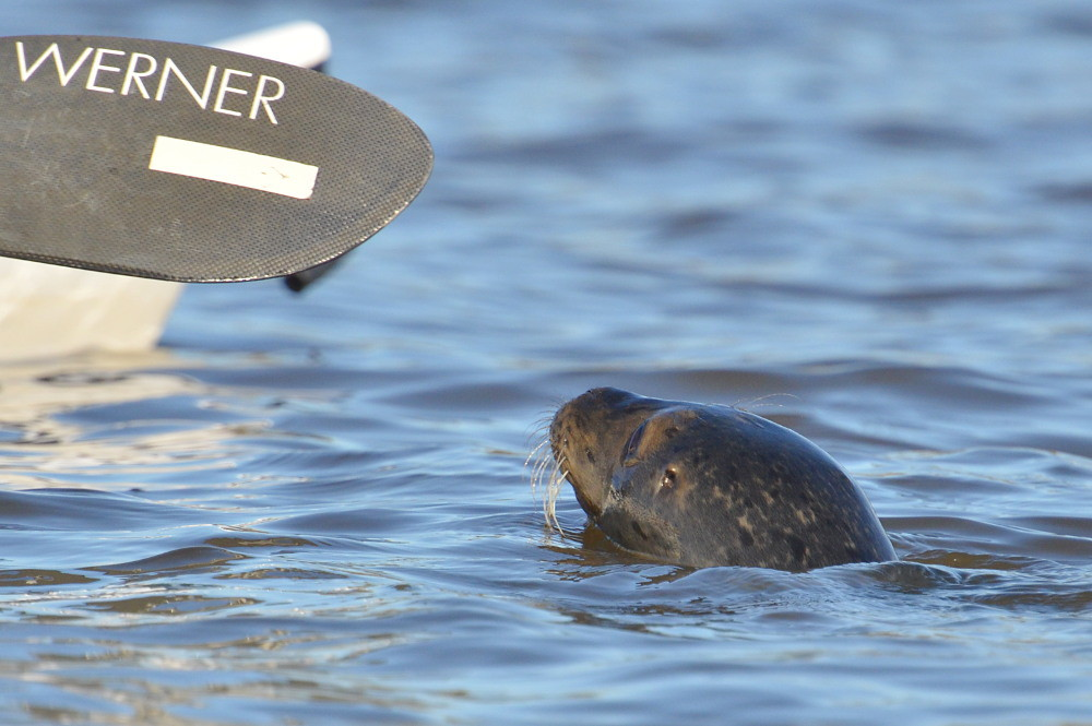 A Harbor Seal in the Upper Estuary 04
