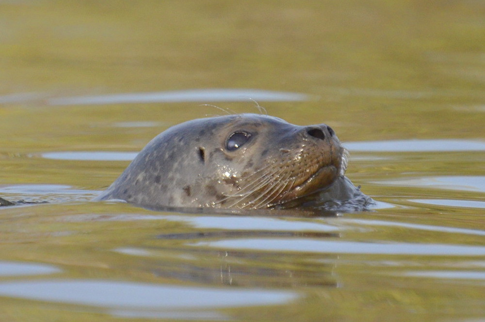 A Harbor Seal in the Upper Estuary 06