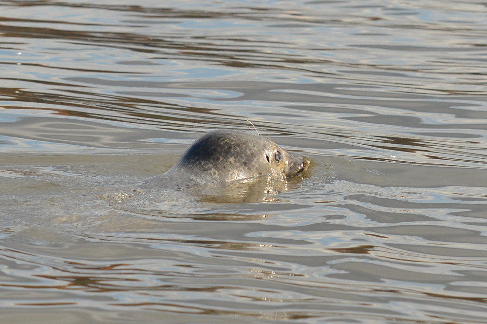 A Harbor Seal in the Upper Estuary 08