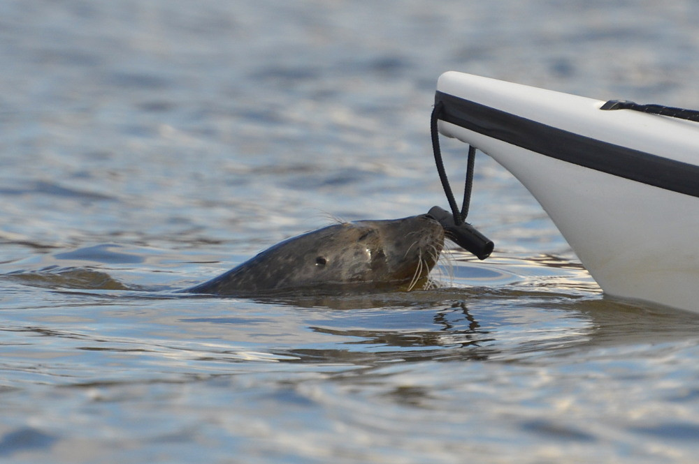 A Harbor Seal in the Upper Estuary 09
