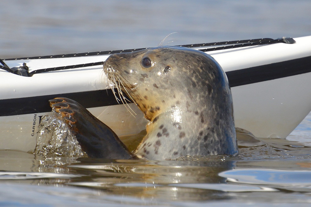 A Harbor Seal in the Upper Estuary 12