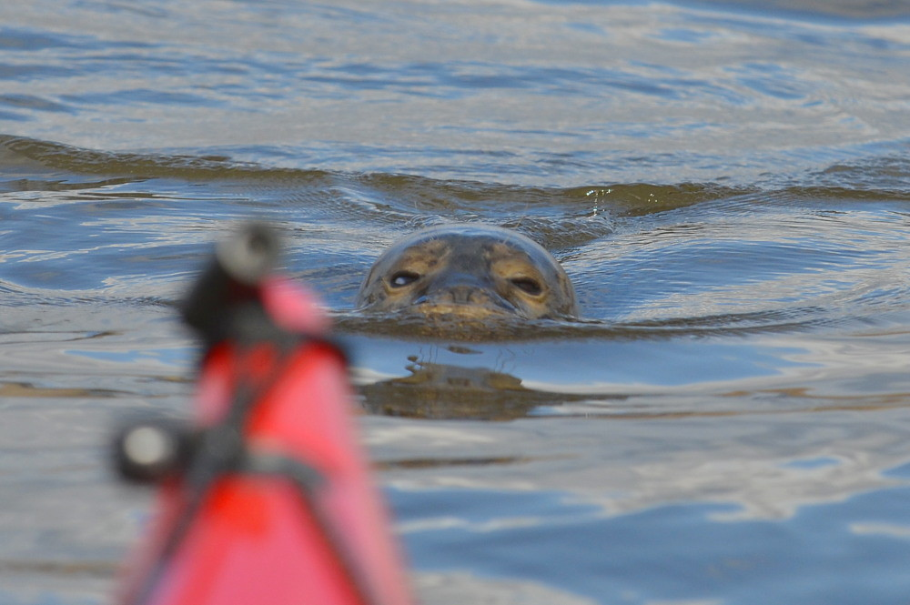 A Harbor Seal in the Upper Estuary 15