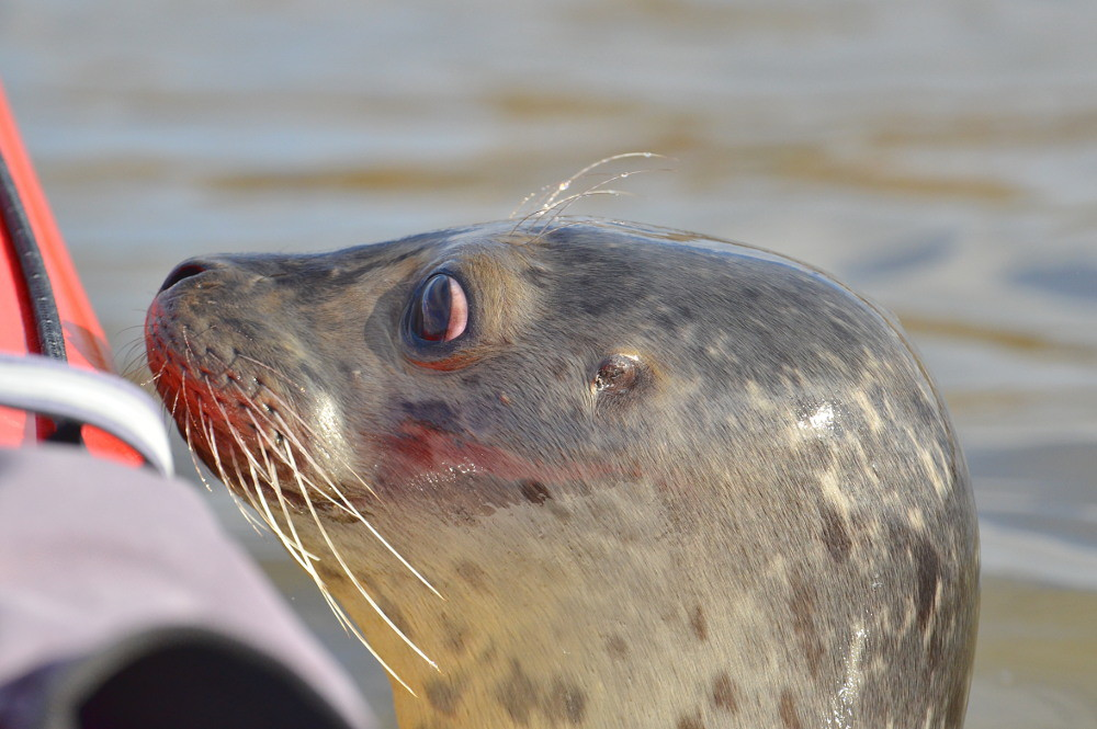A Harbor Seal in the Upper Estuary 16