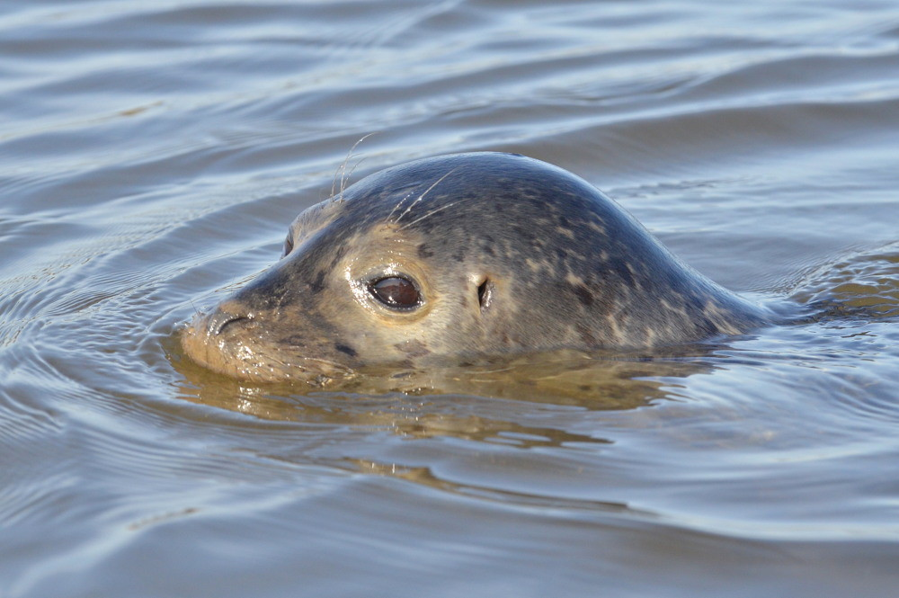 A Harbor Seal in the Upper Estuary 18