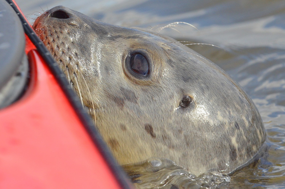 A Harbor Seal in the Upper Estuary 20