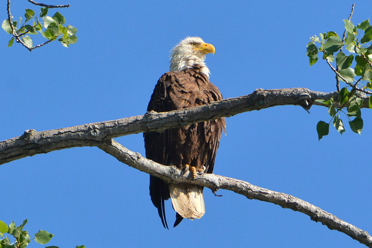 Hudson River Eagles 02