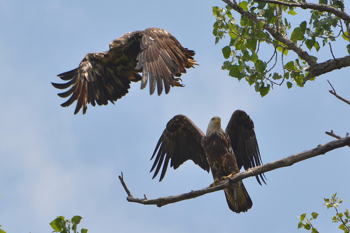 Hudson River Eagles 06