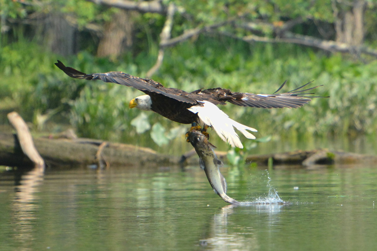Hudson River Eagles 08