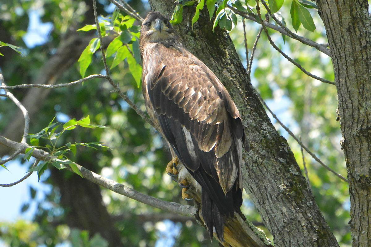 Hudson River Eagles 15