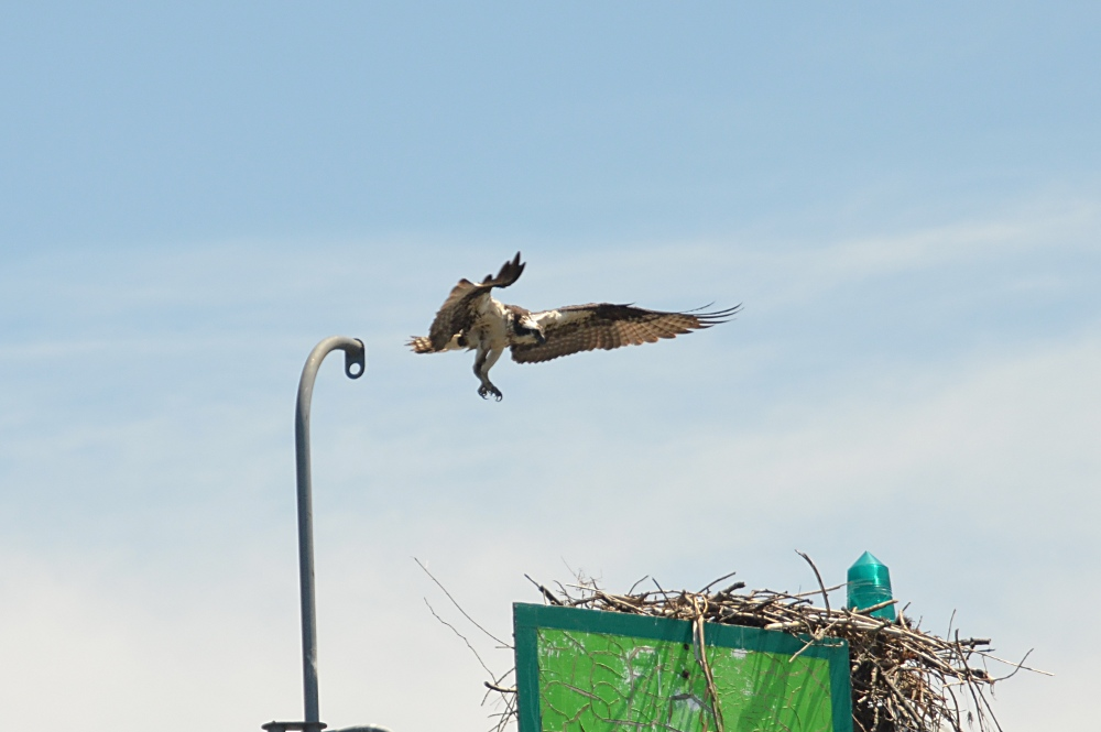 The Ospreys of Beacon 129 15