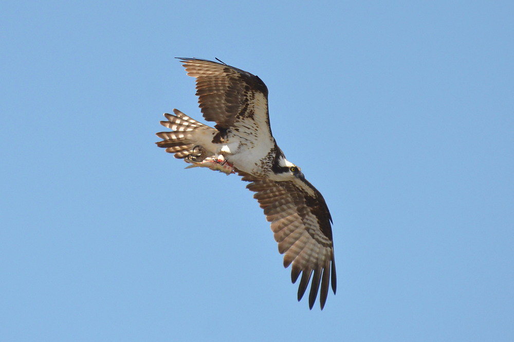 The Ospreys of Beacon 129 06