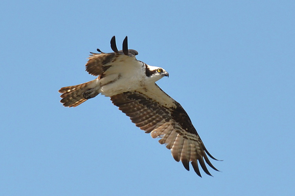 The Ospreys of Beacon 129 07