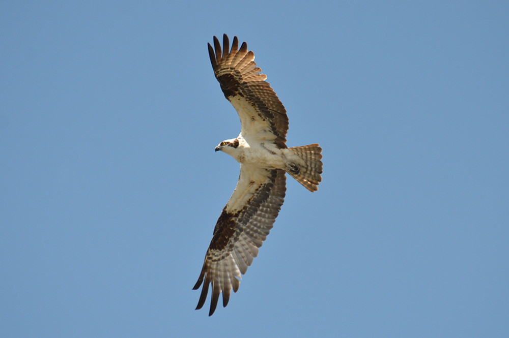 The Ospreys of Beacon 129 12
