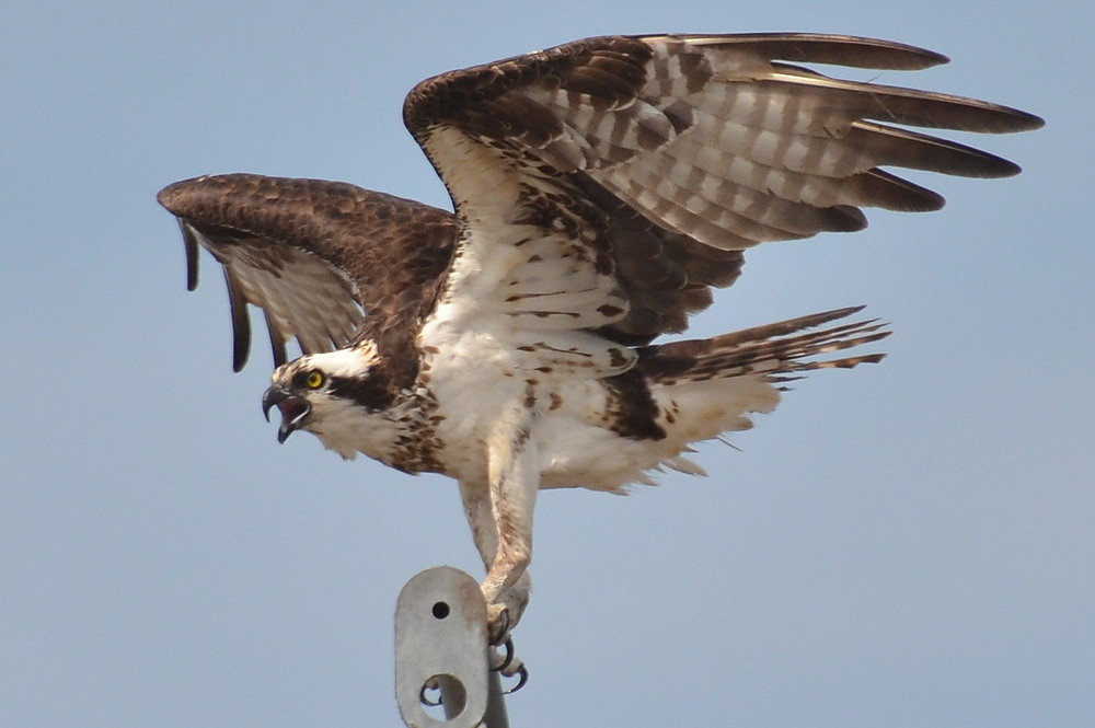 The Ospreys of Beacon 129 25