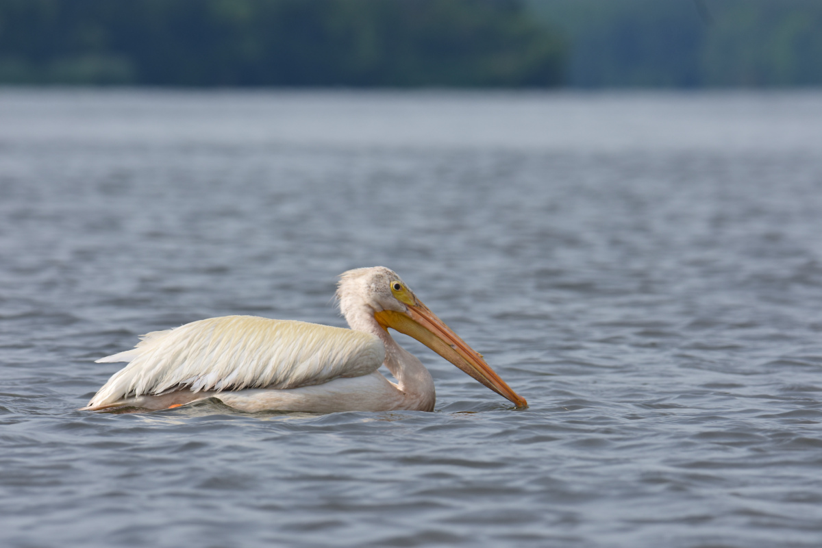 A White Pelican Way Off Course (Hudson River) 01