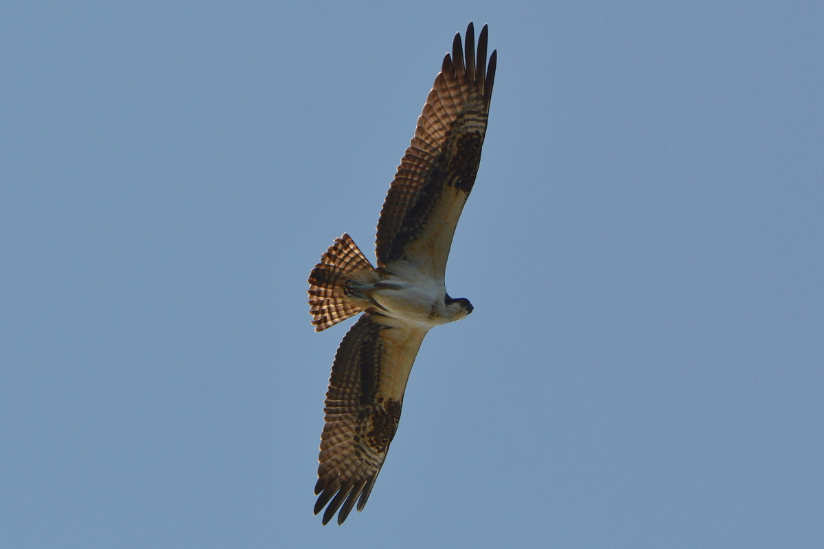 Osprey Action at Priming Hook 10