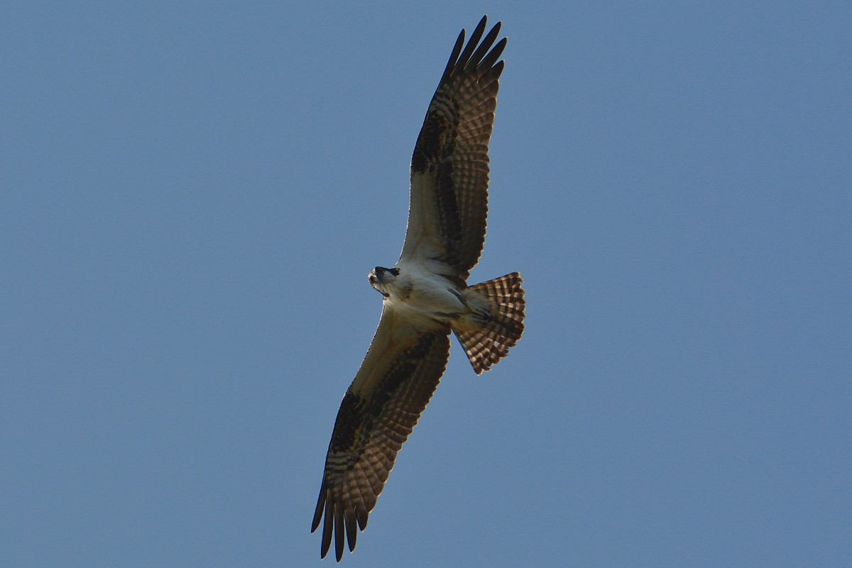 Osprey Action at Priming Hook 12