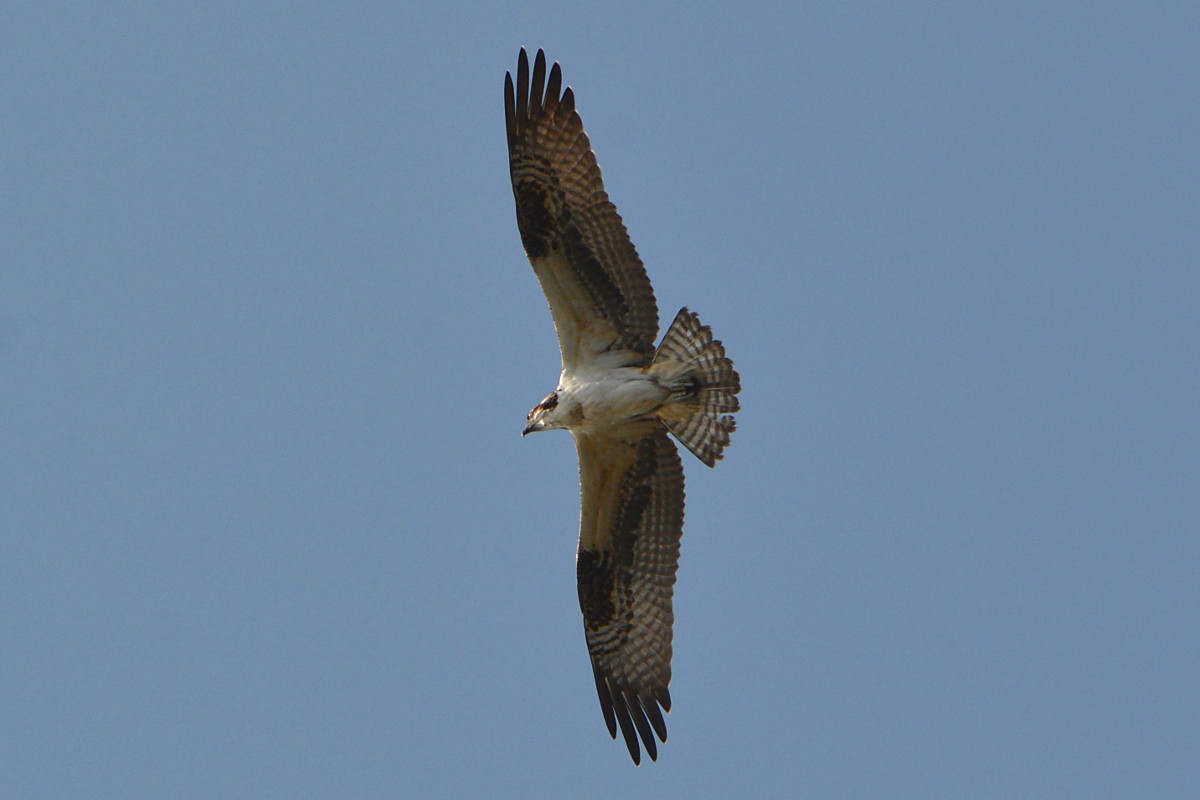 Osprey Action at Priming Hook 14