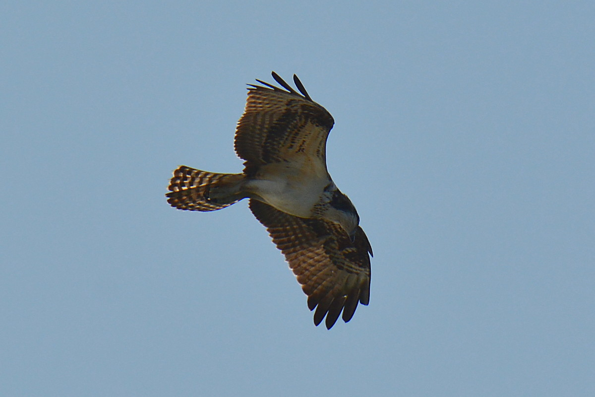 Osprey Action at Priming Hook 19