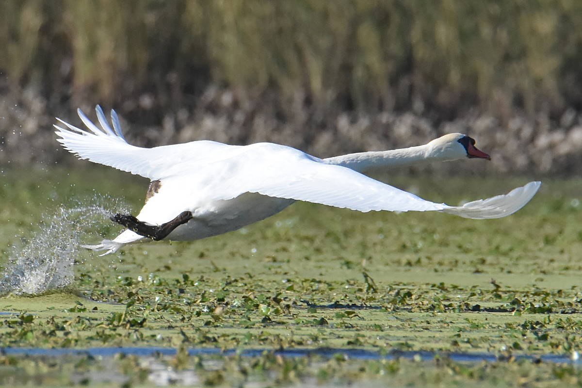 Mute Swans at Inbocht Bay 05