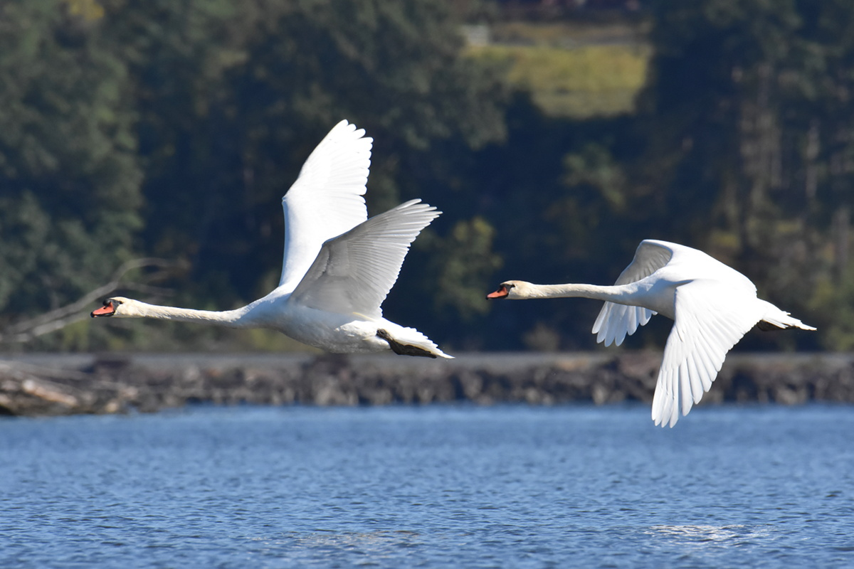Mute Swans at Inbocht Bay 10